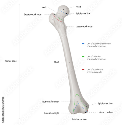 Infographic diagram of human femur bone or leg bone anatomy system ...