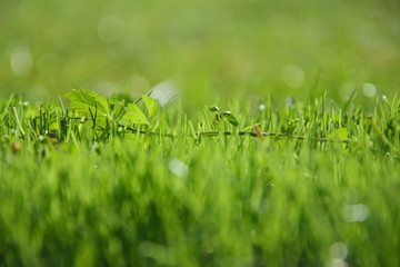 Fresh green grass on a sunny day