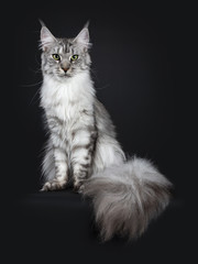 Majestic silver tabby young adult Maine Coon cat sitting facing front with enormous tail beside body hanging over edge, looking straight at lens isolated on black background