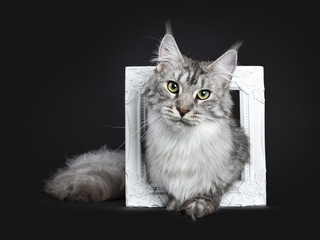 Majestic silver tabby young adult Maine Coon cat sitting in white picture frame, looking straight at lens isolated on black background