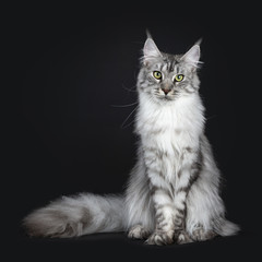 Majestic silver tabby young adult Maine Coon cat sitting facing front with enormous tail beside body , looking straight at lens isolated on black background