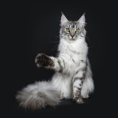 Majestic silver tabby young adult Maine Coon cat sitting facing front with enormous tail beside body , looking straight at lens isolated on black background with one paw in air like hitting something