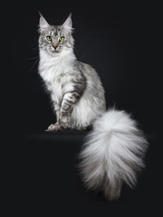 Majestic silver tabby young adult Maine Coon cat sitting facing front with enormous tail beside body hanging over edge, looking up isolated on black background with one paw lifted