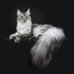 Majestic silver tabby young adult Maine Coon cat laying side ways with paws and enormous tail hanging over edge, looking above lens isolated on black background