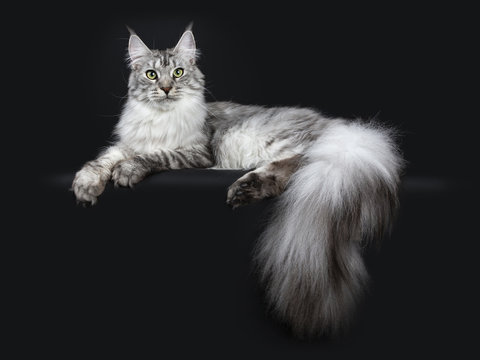 Majestic silver tabby youn adult Maine Coon cat laying side ways with paws and enormous tail hanging over edge, looking straight at lens isolated on black background