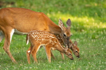 Poster Deer Whitetail doe and two fawns