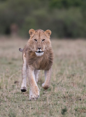 Male lion at carcass