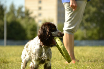 Russian hunting spaniel. Young energetic dog on a walk. Puppies education, cynology, intensive training of young dogs. Walking dogs in nature.