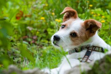Niedlicher Terriermischling liegt im Garten