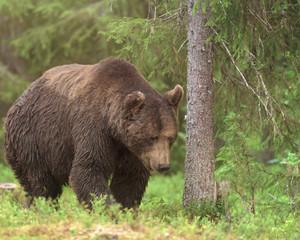 Big male Brown Bear (Ursus arctos) walking in deep green finnish forest