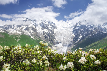 Svaneti nature landscape on summer day with blue sky and white flowers. Snowy peaks of rocky mountains Tetnuldi and Gistola, glacier Lardaad and rhododendrons on foreground. Scenery georgian nature.