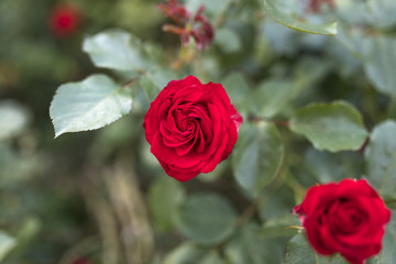Beautiful valentine single red rose in full bloom against a lush green background in a traditional English garden