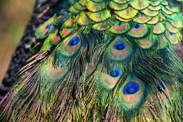Peacock colorful feathers