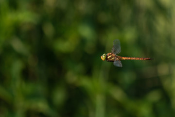 Beautiful nature scene with dragonfly Norfolk Hawker . Macro shot of the flying dragonfly Norfolk Hawker. Dragonfly in the nature habitat.