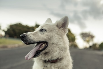 Close-up of white dog sticking out tongue while looking away on road
