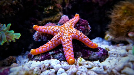 Garden Poster Coral reefs Fromia seastar in coral reef aquarium tank is one of the most amazing living decorations