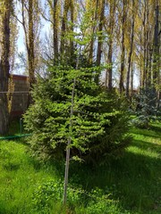 Spring park tree photo. Poplars, larch and fir tree, green spring grass