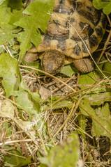 Tartaruga di terra - Testudo Hermanni