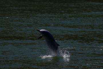 A Chinese white dolphin jumps out of the sea in Hong Kong