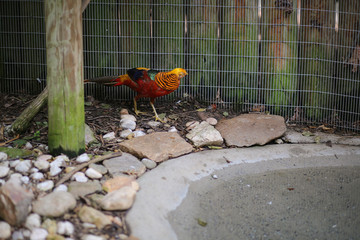 Golden Pheasant (Chrysolophus pictus) in Captivity