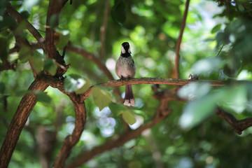 Black and White Bird - white-cheeked bubo chickadee