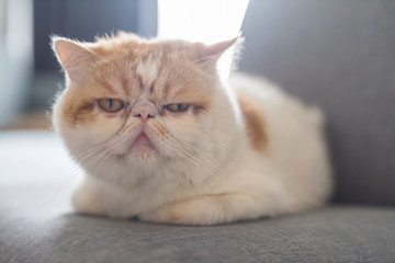 Cute Brown Exotic shorthair cat