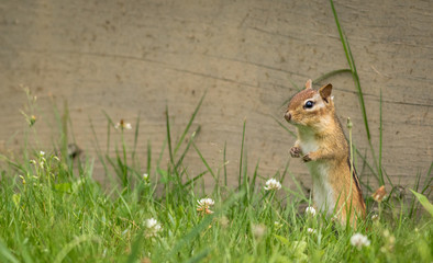 Eastern Chipmunk (Tamias Striatus) stands in summer grass and flowers