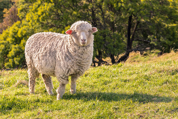 curious merino sheep standing on grass and watching