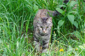 gray cat walking in green grass