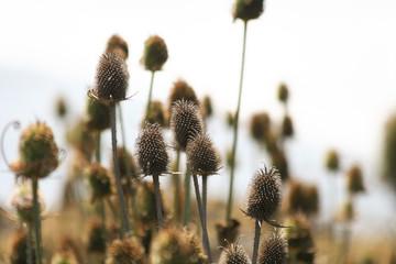 Wildflower in Cambria California