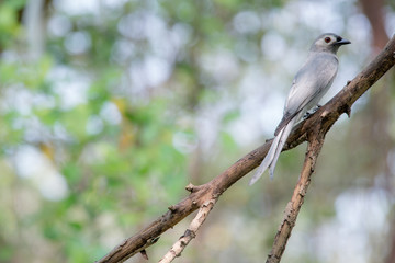 Ashy drongo is mainly dark grey, and the tail is long and deeply forked