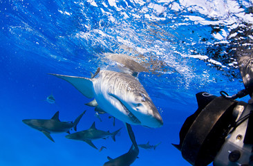 Lemon shark with lots of caribbean reef sharks close to the surface
