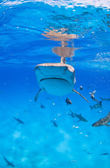 Tiger shark from the front with lots of caribbean reef sharks close to the surface