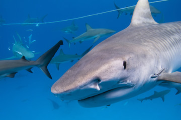 Tiger shark with lots of caribbean reef sharks close to the surface
