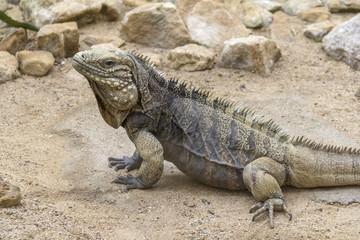 Cuban rock iguana in desert ambiance