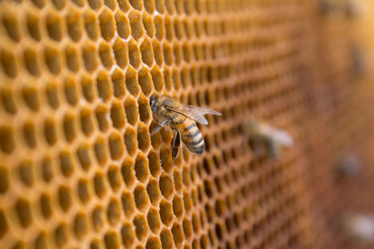 Honey bees on a honeycomb inside beehive. Hexagonal wax structure with blur background.
