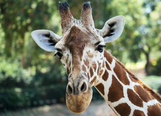 beautiful giraffe face close-up