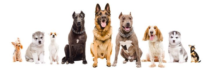Group of dogs of different breeds, sitting together, isolated on white background