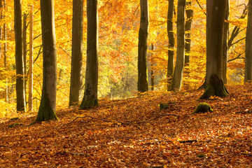 Beautiful autumn beech forest full of colors.Pomerania ,Poland