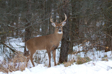 White-tailed deer buck standing in the forest on a winter day in Canada