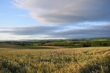 北海道美瑛の夕日に染まる小麦畑