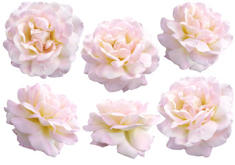 beautiful creamy rose on a white background