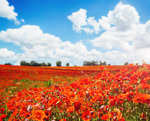 Wall Mural - Blooming poppies on field with white fluffy clouds.