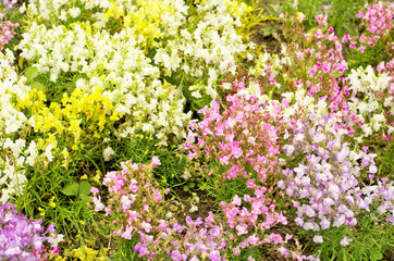 Colorful flower field of Linaria or Moroccan toadflax (Linaria maroccana) in a white ,yellow ,purple and pink color also call Baby Snapdragon flower ,use as an ornamental plant in flower garden.