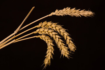 golden spikelets of wheat on a black background