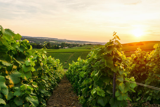 Row vine grape in champagne vineyards at sunset background, Reims, France
