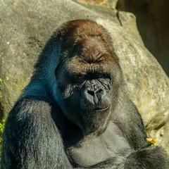 Printed roller blinds Monkey Silverback Gorilla has eaten a pepper.