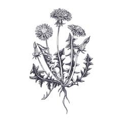 vector hand drawn Dandelion Illustration