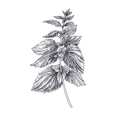 vector hand drawn Nettles medical  herb Illustration