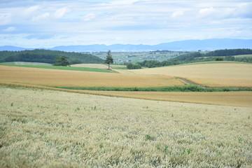 北海道富良野美瑛の小麦畑